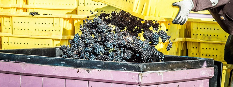 hands dumping grapes into large bin